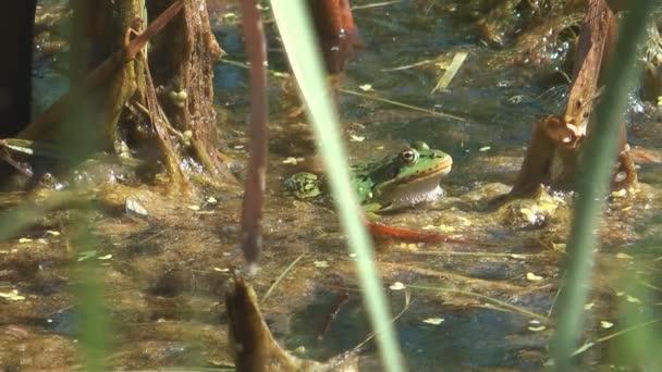 Grüner Frosch.