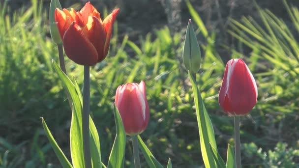 tulipány.