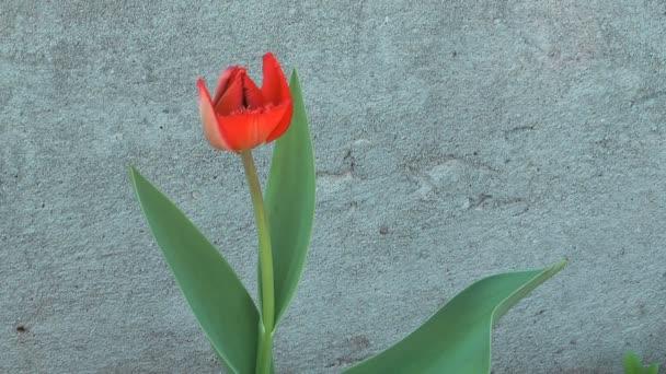 tulipán.