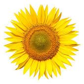 Fotografie slunečnice, samostatný