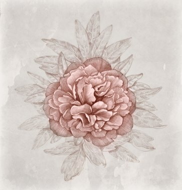 Vintage illustration of peony flower. Perfect for greeting card