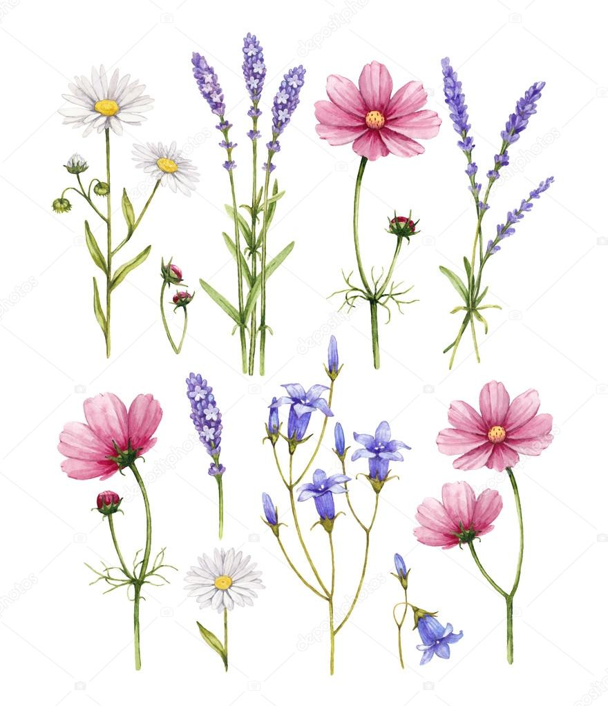 Wild flowers collection. Watercolor illustrations