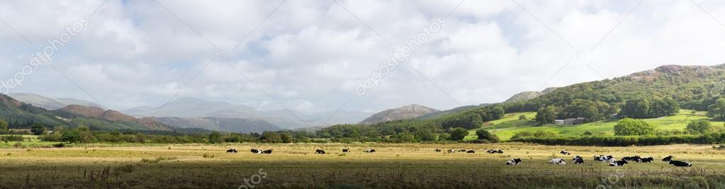 Meadows and cows in Lake District England