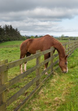 Brown horse stretches to reach grass
