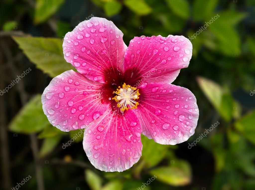 Backlit hibiscus blossom in garden