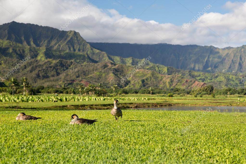 Nene geese in Hanalei Valley on Kauai