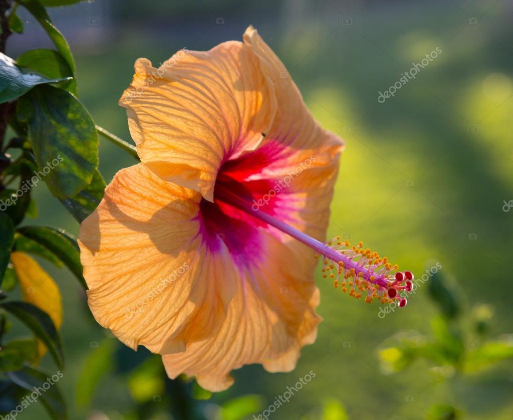 fleur d\'hibiscus rétro-éclairé dans le jardin — Photographie ...