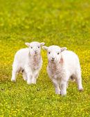gemello bambino agnelli nel prato di fiori