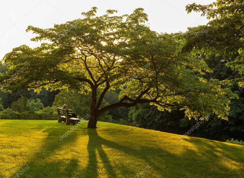 Park bench under flowering dogwood tree
