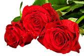 banda rudých růží, izolované na bílém