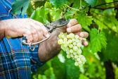 Fotografia uomo adulto raccolta uva nella vigna