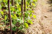 Fényképek kerti borsó