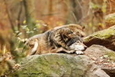 Fotografie Šedý vlk