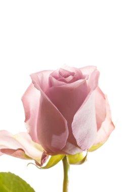 Beautiful pink rose stock vector
