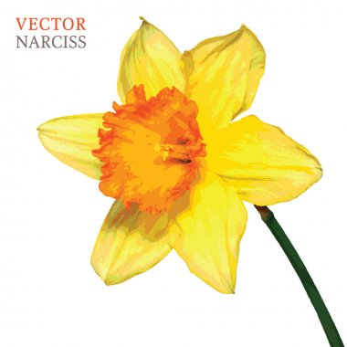 Yellow narciss vector