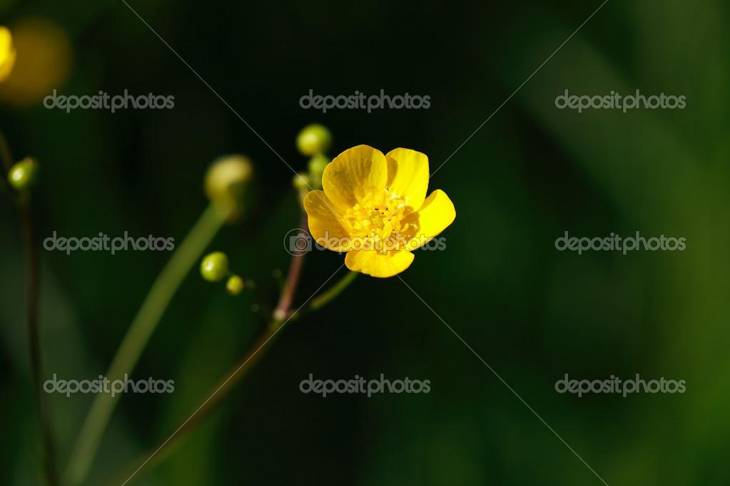 Pequena Flor Amarilla Fotos De Stock C Kvkirillov 13601528
