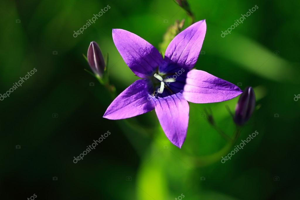 Fleur Sauvage Mauve Photographie Kvkirillov C 13601532