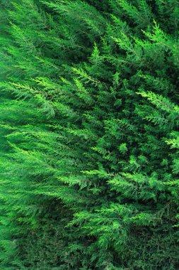 Nice green closeup cypress or thuja background. Nature symbol stock vector