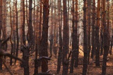 """Картина, постер, плакат, фотообои """"хвойные леса постеры плакаты"""", артикул 33708597"""
