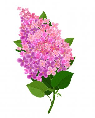 Lilac flower illustration