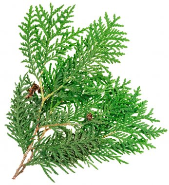 Thuja twig isolated on white, closeup view stock vector