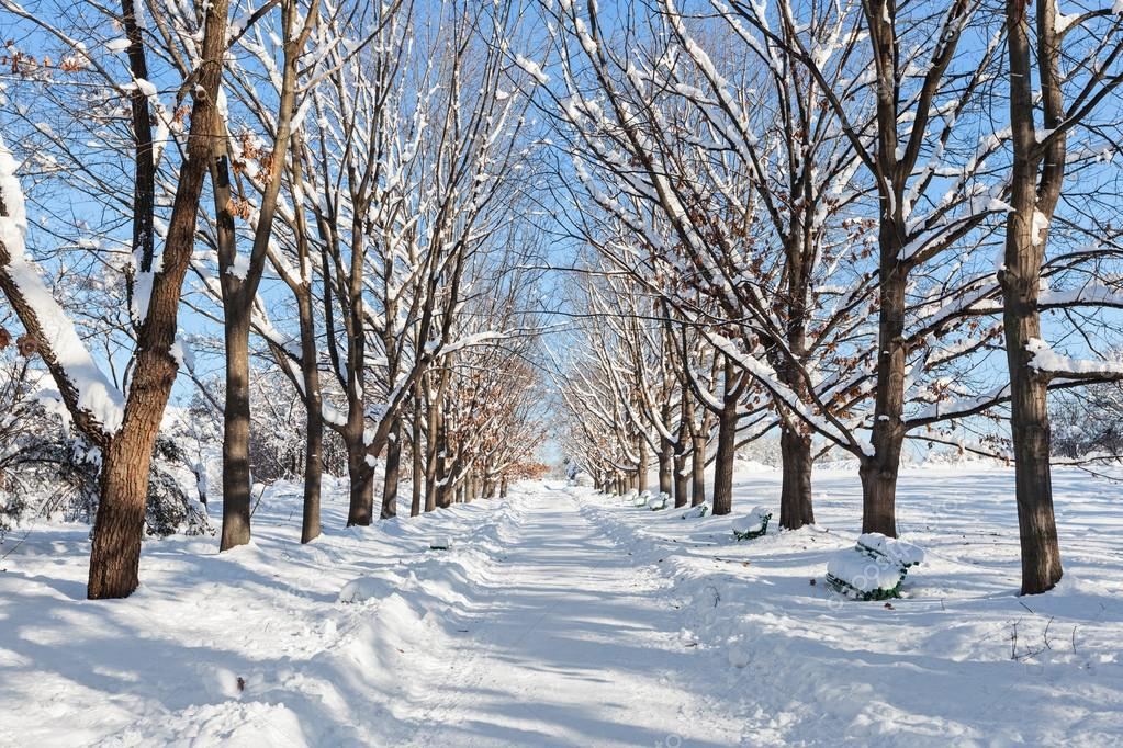 Tree lined road in winter snow
