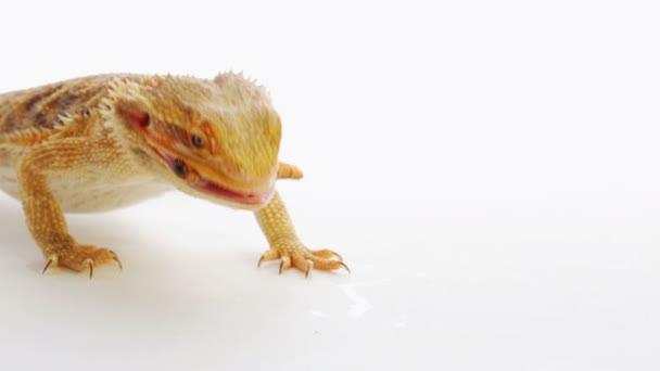 Bearded dragon (agama lizard) eating zophobas worm