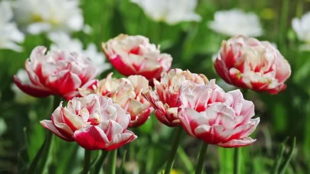 růžové a bílé tulipány na záhon