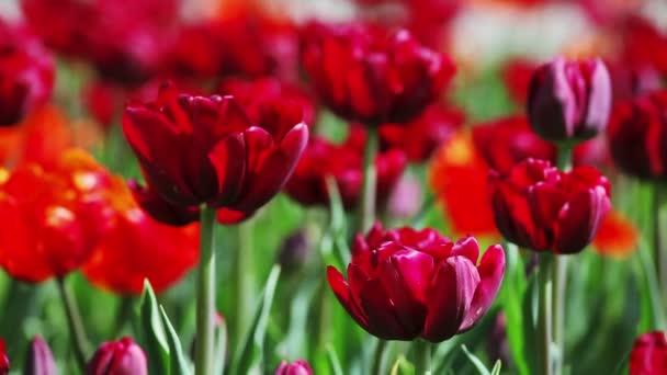 Vörös tulipán virág-ágy, Vértes nézetet