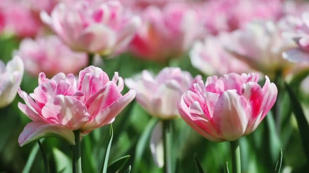 Two pink tender tulips on blurred background