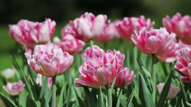 Růžový úhrady tulipány na záhon