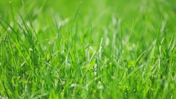 frisches neues grünes Gras Schiebeschuss, Makroansicht