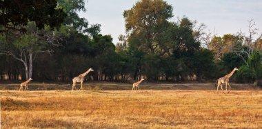 family giraf