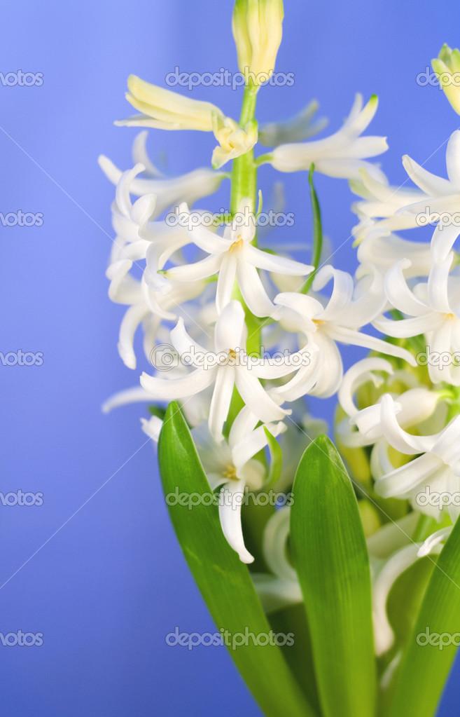 weiße Hyazinthe — Stockfoto © ivelle #12229971