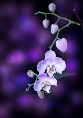 Bright lilac orchid