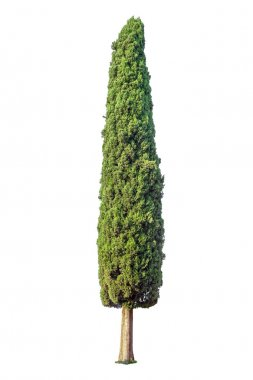 Cypress isolated on white background stock vector