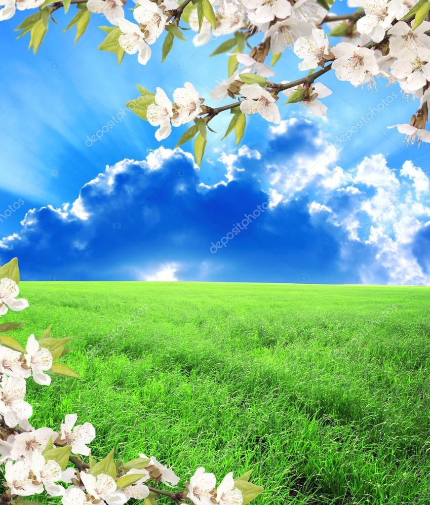 Green field, blue sky and flower of cherry