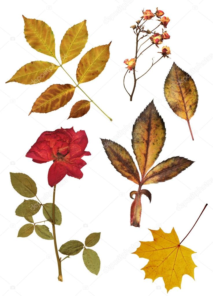 Set of dried roses and leaves