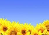 Hranice s slunečnice
