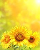 világos sárga napraforgó