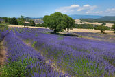 Fotografie nádherné levandulové pole ve Francii