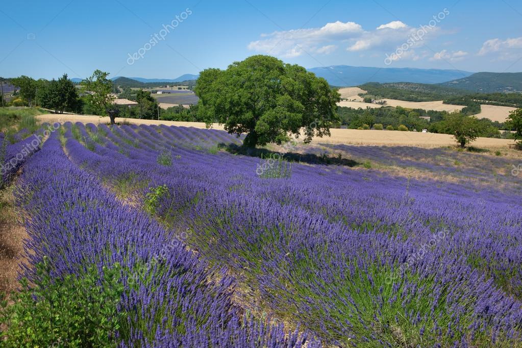 Beautiful lavender field in France