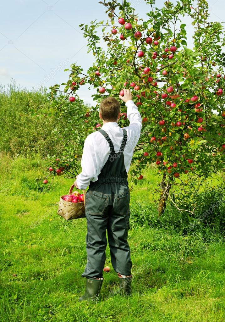 Man working in apple garden.
