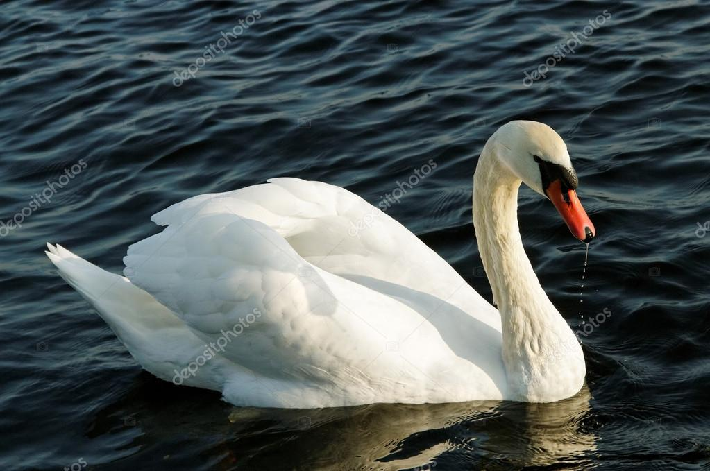 Swan on the water.