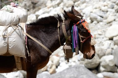 Portrait of donkey with heavy load at Everest region,Nepal