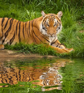 Tiger near the water