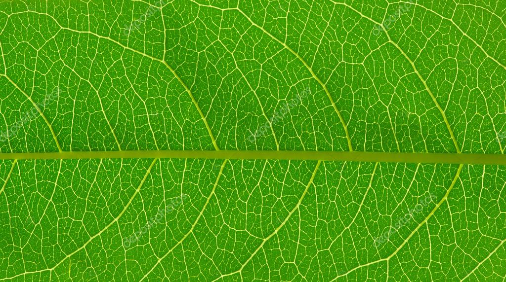 Leaf Texture – Leaf texture free vector we have about (11,732 files) free vector in ai, eps, cdr, svg vector illustration graphic art design format.