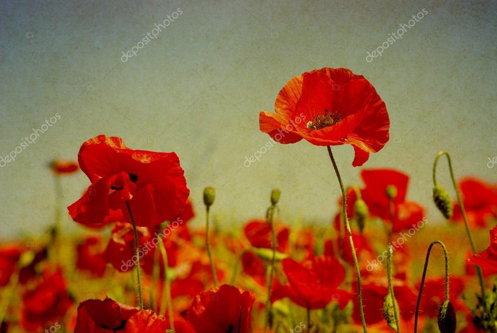 Grunge poppies