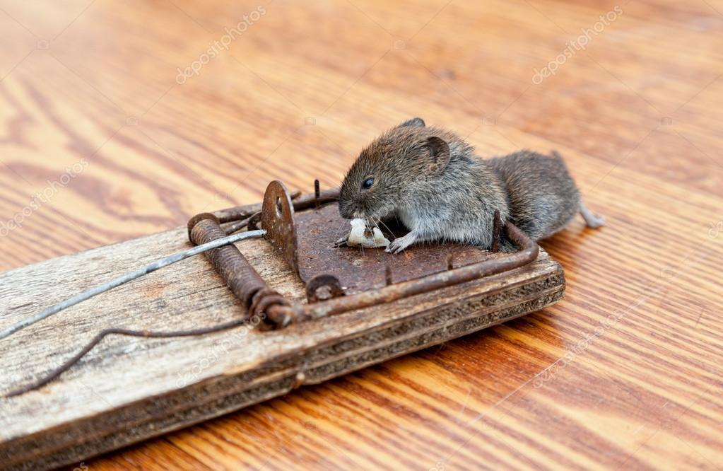 rat n muerto en una trampa para ratones foto de stock blinow61 12709005. Black Bedroom Furniture Sets. Home Design Ideas