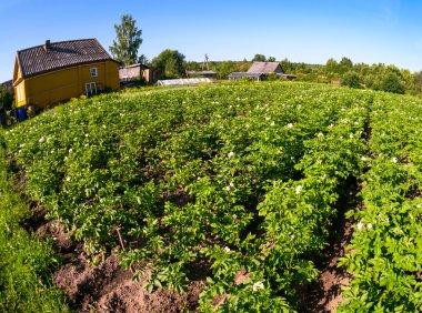 Potatoes plantation in russian village in summertime